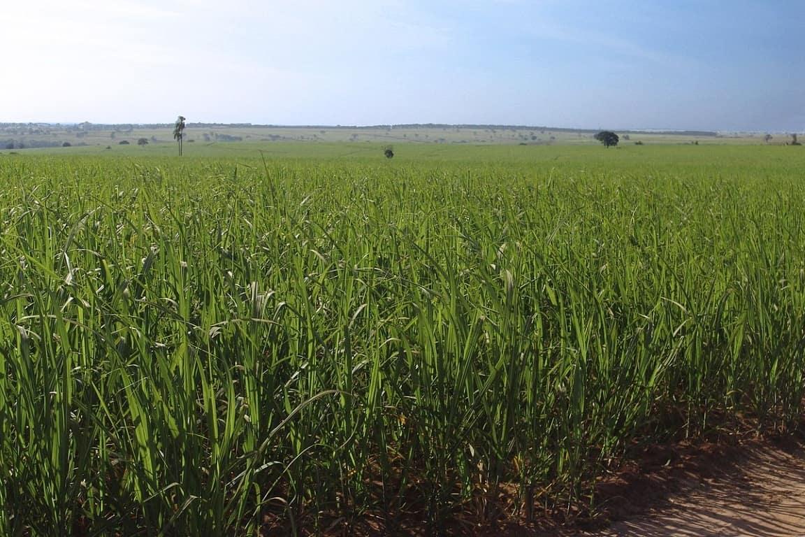 Cana de Açúcar (Foto: José Reynaldo da Fonseca/Wikipédia)